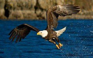 Aguila_calva_hermosa Cinco especies salvadas de la extinción (de momento) Cinco especies salvadas de la extinción (de momento) Aguila calva hermosa