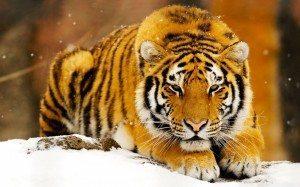 Tigre_siberiano_nieve Cinco especies salvadas de la extinción (de momento) Cinco especies salvadas de la extinción (de momento) Tigre siberiano nieve