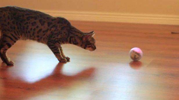 gato-jugando-con-bola 7 juegos para tu gato 7 juegos para tu gato gato jugando con bola