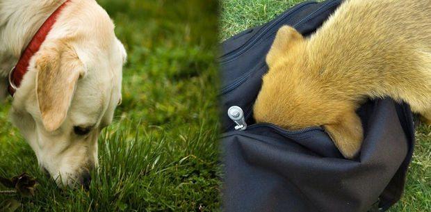 ideas-de-juegos-de-olfato-para-perros Juegos de olfato Juegos de olfato ideas de juegos de olfato para perros