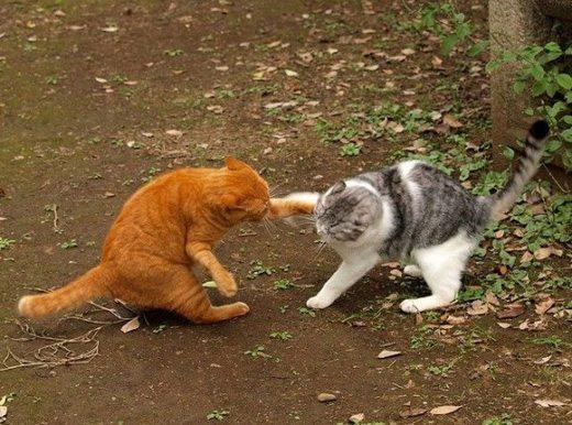 peleas-de-gatos ¿Qué hacer si dos gatos se pelean? ¿Qué hacer si dos gatos se pelean? peleas de gatos
