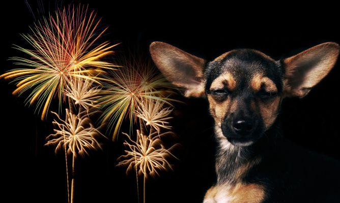 perro-petardo1 Miedo a los petardos Miedo a los petardos perro petardo1