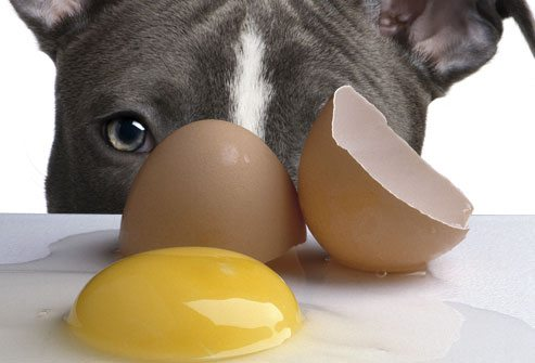 pitbull come huevo ¿Es malo que un perro coma huevos crudos? ¿Es malo que un perro coma huevos crudos? pitbull come huevo