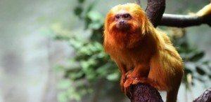 titi_leon_dorado005 Cinco especies salvadas de la extinción (de momento) Cinco especies salvadas de la extinción (de momento) titi leon dorado005
