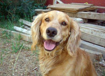cocker-ana ¿Existe realmente la comunicación telepática con nuestros perros? ¿Existe realmente la comunicación telepática con nuestros perros? cocker ana