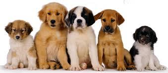 descarga ¿Qué es la Dirofilariasis canina? ¿Qué es la Dirofilariasis canina? descarga