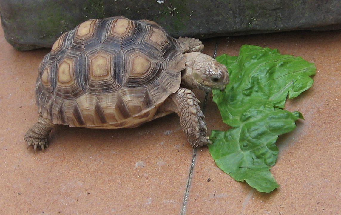 img_3334b Alojamiento y temperatura de la tortuga de tierra Alojamiento y temperatura de la tortuga de tierra img 3334b