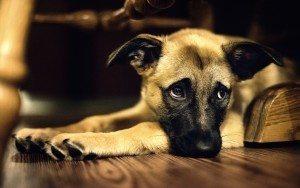 perrito-triste Cordectomía, mutilación en el perro Cordectomía, mutilación en el perro perrito triste