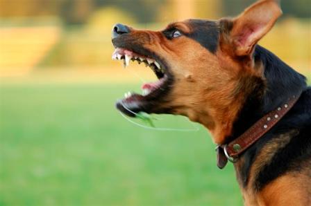 perro-agresivo qué debemos evitar cuando tenemos un perro agresivo Qué debemos evitar cuando tenemos un perro agresivo perro agresivo