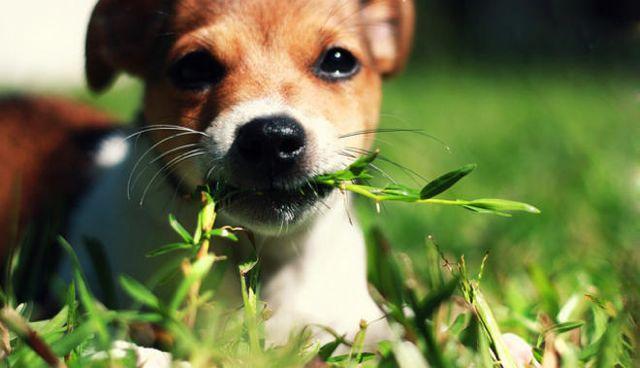 eat grass ¿Por qué los perros comen hierba? ¿Por qué los perros comen hierba? eat grass