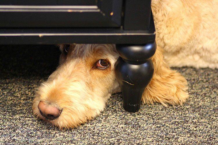foto-perro-culpable Perros que se esconden cuando saben que han hecho algo mal Perros que se esconden cuando saben que han hecho algo mal foto perro culpable