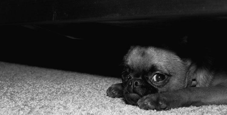 fotos-perros-culpables Perros que se esconden cuando saben que han hecho algo mal Perros que se esconden cuando saben que han hecho algo mal fotos perros culpables