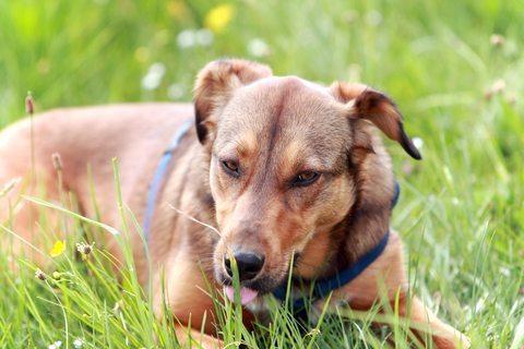 perro-comiendo-hierba Hierbas con mucha vitaminas que les va bien a nuestras mascotas Hierbas con mucha vitaminas que les va bien a nuestras mascotas perro comiendo hierba