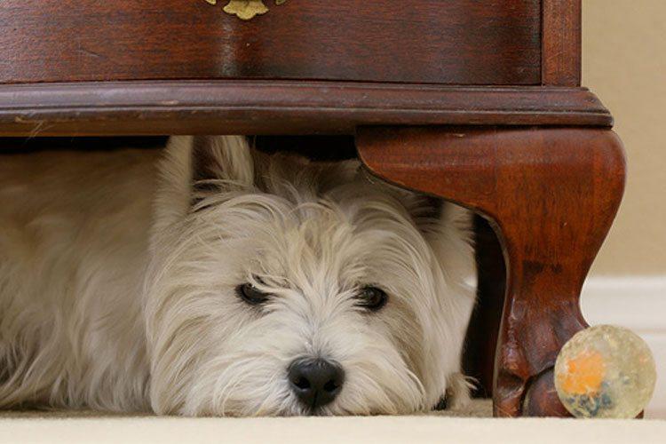 perro-escondido-bajo-repisa Perros que se esconden cuando saben que han hecho algo mal Perros que se esconden cuando saben que han hecho algo mal perro escondido bajo repisa