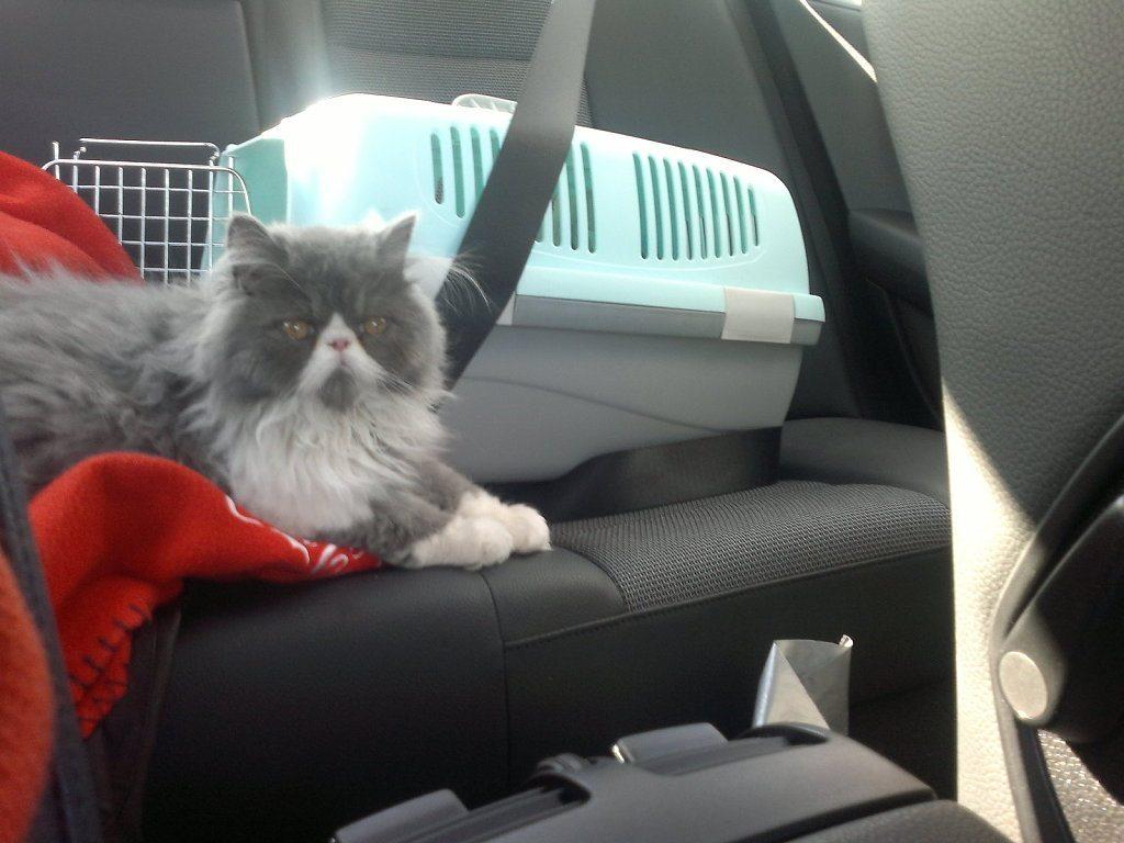 am_163009_5544723_675129 Viajar en coche con nuestro gato Viajar en coche con nuestro gato am 163009 5544723 675129