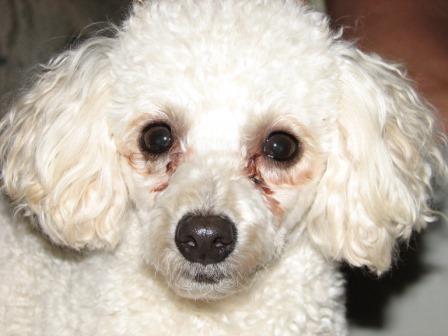 como-limpiar-lagrimas-en-caniches Cómo quitar las manchas que provocan las lágrimas en nuestro perro Cómo quitar las manchas que provocan las lágrimas en nuestro perro como limpiar lagrimas en caniches