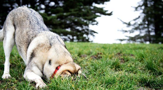 dog-dig-head-in-hole Como evitar que los perros entierren cosas Como evitar que los perros entierren cosas dog dig head in hole1