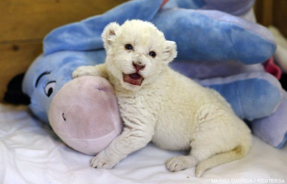 "An eight-day-old white lion cub plays with a soft toy donkey at Belgrade's ""Good hope garden"" zoo Ya ha cumplido dos meses el primer león blanco nacido en Brasil Ya ha cumplido dos meses el primer león blanco nacido en Brasil o LEN 570"