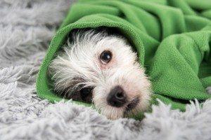 perro-manta 3 medicamentos para humanos totalmente prohibidos para nuestro perro 3 medicamentos para humanos totalmente prohibidos para nuestro perro perro manta