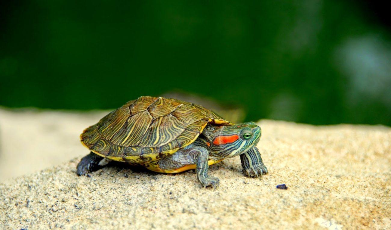 tortuga-de-agua-cuidados-nombres-mascotas-foto Mi tortuga no come ¿Que le pasa? Mi tortuga no come ¿Que le pasa? tortuga de agua cuidados nombres mascotas foto