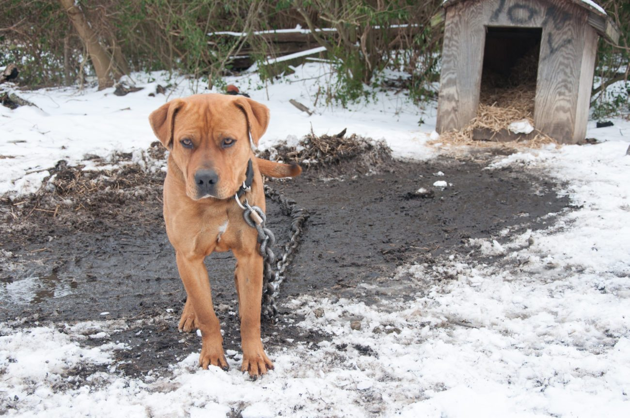 Cold chained dog in the snow during straw delivery in January 2013. Crean una web para denunciar casos de perros permanentemente encadenados Crean una web para denunciar casos de perros permanentemente encadenados 01