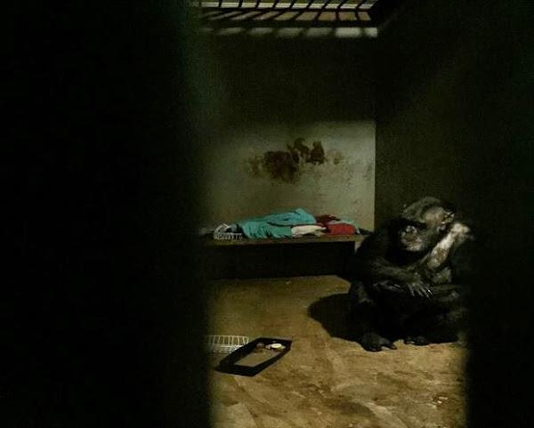 gorila jaula Iris una chimpancé prisionera Iris una chimpancé prisionera 10607191