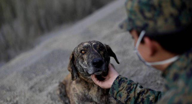 perro y militar Ceniza, el perro callejero que ayuda en las labores de rescate del volcán Cabulco en Chile Ceniza, el perro callejero que ayuda en las labores de rescate del volcán Cabulco en Chile 31 7