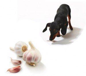 Ajo-para-Perros Cómo eliminar los ácaros de los animales con ajo Cómo eliminar los ácaros de los animales con ajo Ajo para Perros