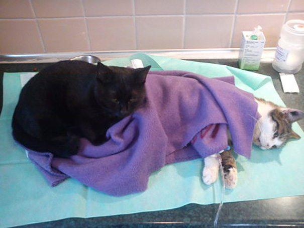 gato-enfermero-03 UN GATO SE CONVIERTE EN EL ENFERMERO DE TODOS LOS ANIMALES HERIDOS DE UNA PROTECTORA UN GATO SE CONVIERTE EN EL ENFERMERO DE TODOS LOS ANIMALES HERIDOS DE UNA PROTECTORA gato enfermero 03