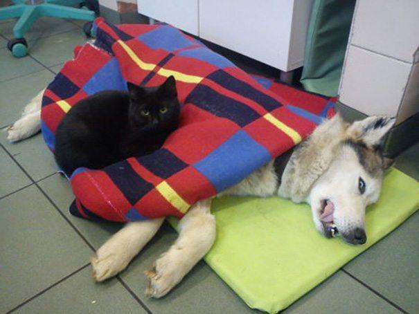 gato-enfermero-05 UN GATO SE CONVIERTE EN EL ENFERMERO DE TODOS LOS ANIMALES HERIDOS DE UNA PROTECTORA UN GATO SE CONVIERTE EN EL ENFERMERO DE TODOS LOS ANIMALES HERIDOS DE UNA PROTECTORA gato enfermero 05