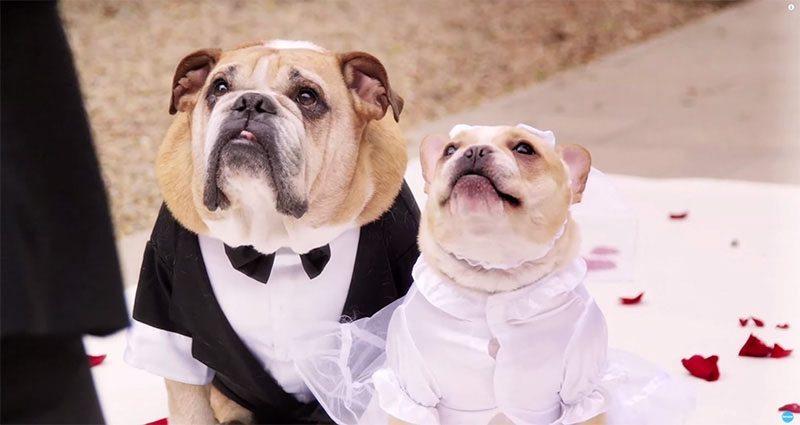boda bulldogs JOHN LEGEND ORGANIZA UNA BODA PARA SUS DOS BULLDOGS John legend organiza una boda para sus dos bulldogs john legend bulldogs 03