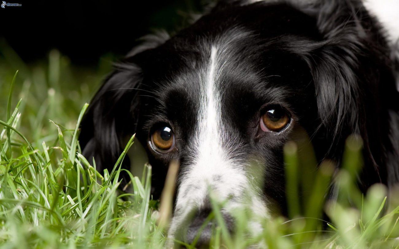 mirada-de-perro,-perro-en-la-hierba-172606 El perro: La mirada El perro: La mirada mirada de perro perro en la hierba 172606
