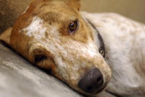 perroaband1 ¿Cómo tratar en dolor en los animales? ¿Cómo tratar en dolor en los animales? perroaband1