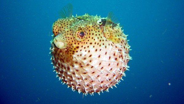 pez-globo_192491174 Pez globo: Alimentación y reproducción Pez globo: Alimentación y reproducción pez globo 192491174