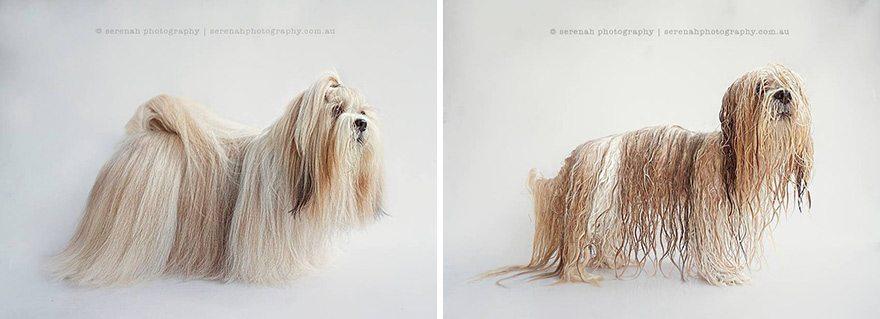 serenah-photography-perros-mojados-04 Perros antes y después de la ducha Perros antes y después de la ducha serenah photography perros mojados 04