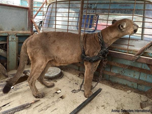 10758222 Liberan a un puma de circo que vivió 10 años encadenado Liberan a un puma de circo que vivió 10 años encadenado 10758222