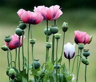 Adormidera planta Adormidera - Opio Adormidera - Opio Adormidera