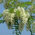 Acacia Blanca - Falsa acacia