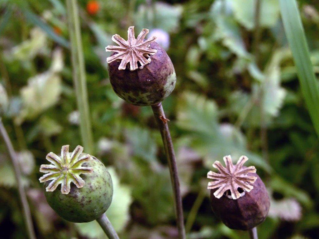 adomidera planta Adormidera - Opio Adormidera - Opio adomidera planta