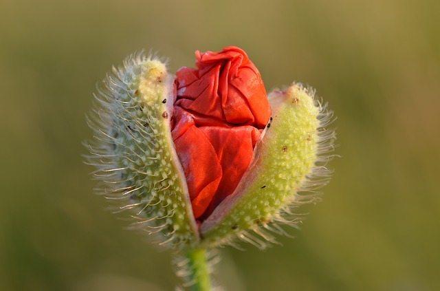 amapolas flores amapola Amapola amapolas abriendose