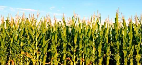 maiz-2 Maíz Maíz maiz 2