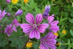 malva planta Malva Malva malva1