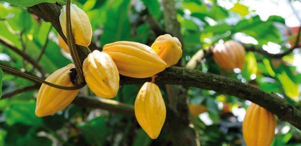 cacao Cacao Cacao cacao