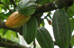 cacao Cacao Cacao cacao1