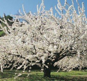 cerezo árbol Cerezo Cerezo FRU 076