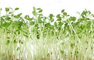alfalfa planta Alfalfa Alfalfa alfalfa1