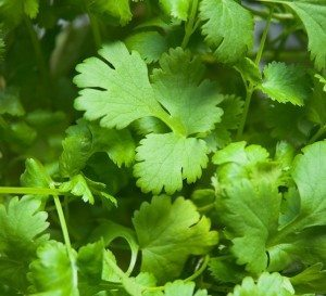 cilantro planta Cilantro Cilantro cilantro