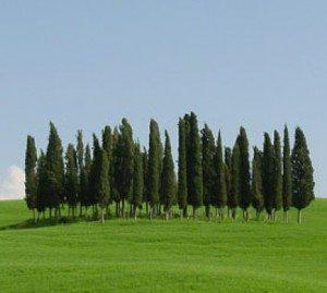 cipres árbol Ciprés Ciprés cipres