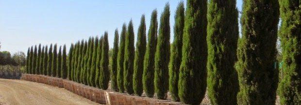 cipres árbol Ciprés Ciprés cipres1