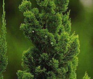 cipres árbol Ciprés Ciprés cipres2r